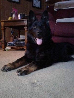 Is My Dog a Pure Bred German Shepherd? - black Shepherd looking dog with brown on her feet