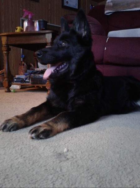 Is My Dog a Pure Bred German Shepherd?