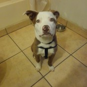 Is My Dog a Pit Bull Terrier? - brown and white Pit Bull looking dog