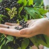 A hand holding some ripe elderberries.