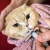 A cat being given liquid medication.