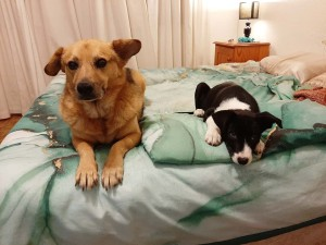Dog Peeing Inside Since Getting a Puppy - adult dog and puppy lying on a bed