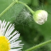 Making a Wish - daisy type flower with bud and a bit of fluff