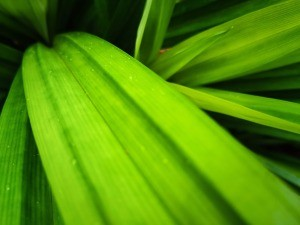 Green pandan leaves.