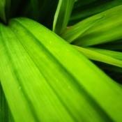 Green pandan leaves.