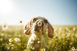 A puppy smelling a flower in a field.