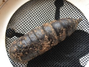 Identifying a Segmented Casing or Cocoon  - possibly a moth cocoon