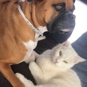 Opposites Attract (Dog and Cat Friends) - Boxer and white cat laying next to each other