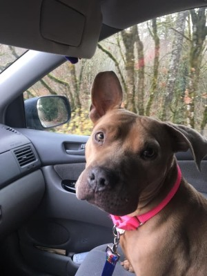 Tilly (Pit Bull mix) - one flop eared Pit in a car