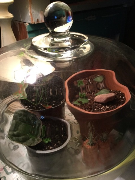 Grow New African Violets and Succulents from Cuttings - plant cuttings under a glass dome