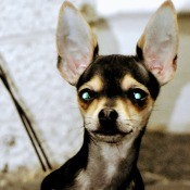 Is My Dog a Full Blooded Chihuahua? - tri-colored dog with large upright ears