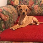 What Is My Chihuahua Mixed With? - light brown puppy with flop over ears on the couch