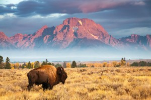 A view of the mountains and a buffalo in Wyoming.