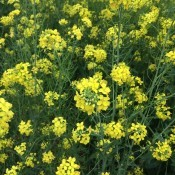 Turnip Blooms Attracting Honey Bees - yellow turnip flowers