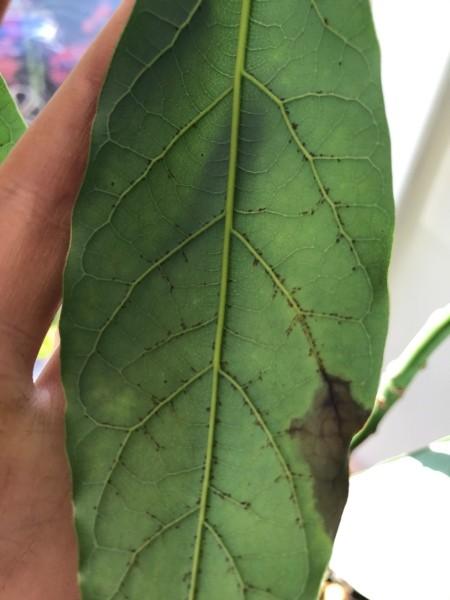 Black Spots on Underside of Avocado Leaves - spots
