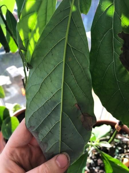 Black Spots on Underside of Avocado Leaves