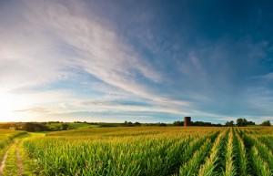 Cornfields in Iowa.