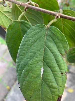 Identifying Insect Eggs - tiny elongated white eggs on a leaf