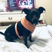 What Is My Chihuahua Mixed With? - black dog wearing a harness on the bed