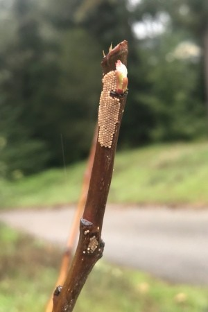 Identifying Insect Eggs on an Apple Tree - rows of medium tan round eggs on branch