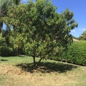 Avocado Tree Leaves Turning Brown and Falling - tree in the yard