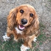 Cocker Spaniel Breed Size Information - Ramsey the Cocker