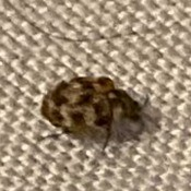 Identifying Household Bugs - two tone bug