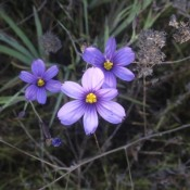 Identifying Southern California Wild Flowers - pretty 6 petal bluish purple wild flower with bright yellow center