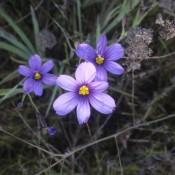 Identifying Southern California Wild Flowers - pretty 6 petal bluish purple wild flower with bright yellow center