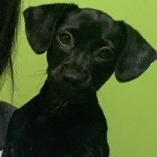 What Breed Is My Puppy? - small black puppy
