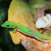 Hawaiian Gecko - bright green gecko with tan belly, pinkish brown markings, and yellow near neck