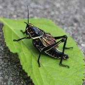 Horse Lubber Grasshopper - chunky grasshopper on bright green leaf