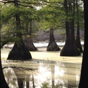 On The Bayou - Cypress Trees - cypress trees in a Louisiana swamp