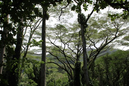 Tree Tops - Oahu  - tree tops with mountains and sky in the background
