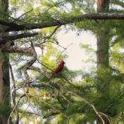 Mr. Red (Cardinal) - cardinal on a tree branch