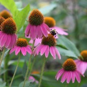 Echinacea and Bee - bee on purple cone flowers/echinacea