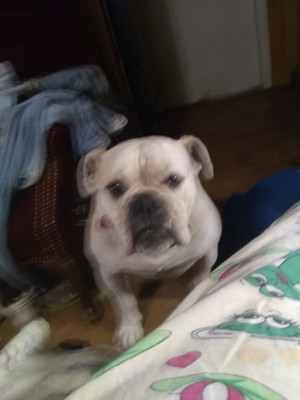 What Type of Bulldog Is This?