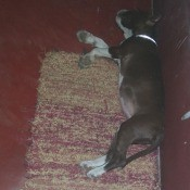 Average Weight and Height for a Pit Bull Puppy - black and white puppy lying on a rug