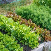 Now Is the Time for a Victory Garden - raised beds with leaf lettuce and other crops