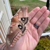 Polyphemus Moth - moth on hand