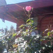 Rose Celebrating a New Day - pink rose bloom with two buds one on either side that look like arm raised up in celebration
