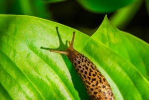 Leopard slug on hosta leaf.