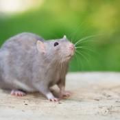 Grey Rat outside.