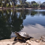 Tame Turtle - turtle on the bank of a pond or lake