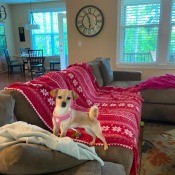 What Is My Chihuahua Mixed With? -tan dog on the couch