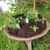 Recycled Wheelbarrow Herb Garden - herbs growing in an old wheelbarrow