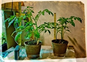 Tomatoes Started Indoors Not Flowering