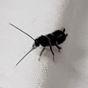 Identifying Small Black Bug - closeup of the bug