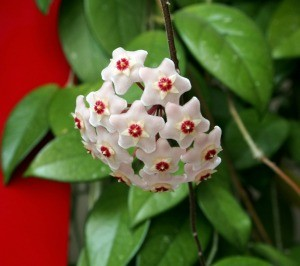 A hoya houseplant in bloom.
