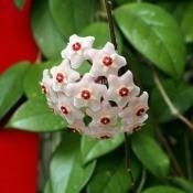 A hoya houseplant in bloom.